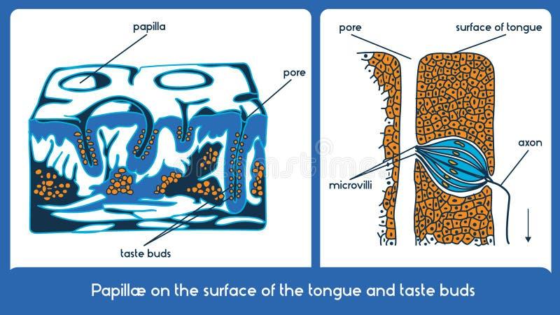 Surface de la langue et des papilles gustatives Plan de vecteur illustration libre de droits