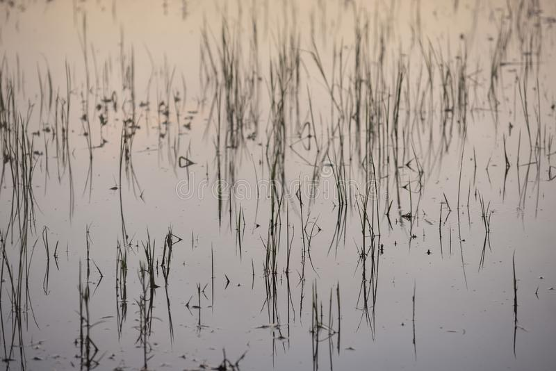 Surface of the lake. Grass sprouting from the water and last year`s dried stems sticking to the surface royalty free stock photography