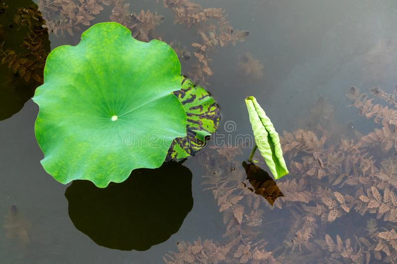 The lotus leaf is gnawing stock images