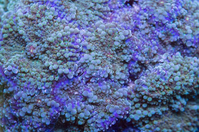 Ricordia coral. Surface of ricordia soft coral mushrooms underwater royalty free stock image