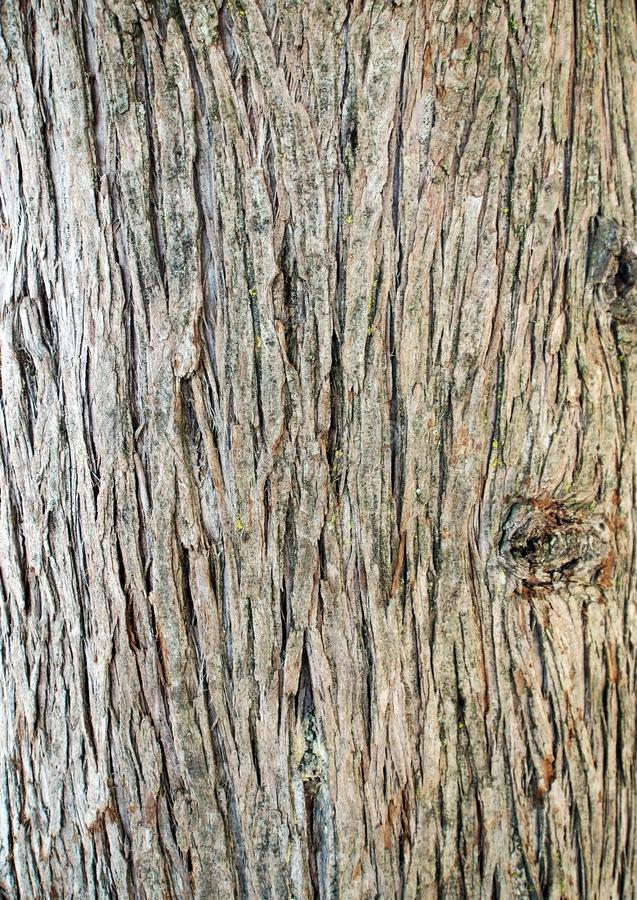 Surface texture of the trunk of the cypress royalty free stock images