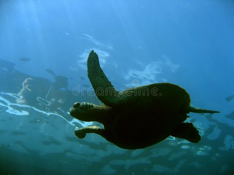 Surface turtle sipadan island borneo royalty free stock images