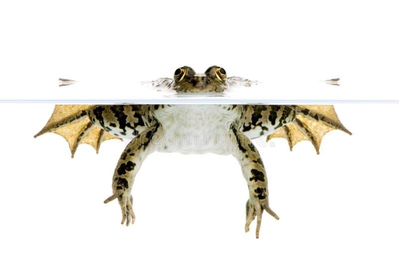 Surfacing Frog stock photo