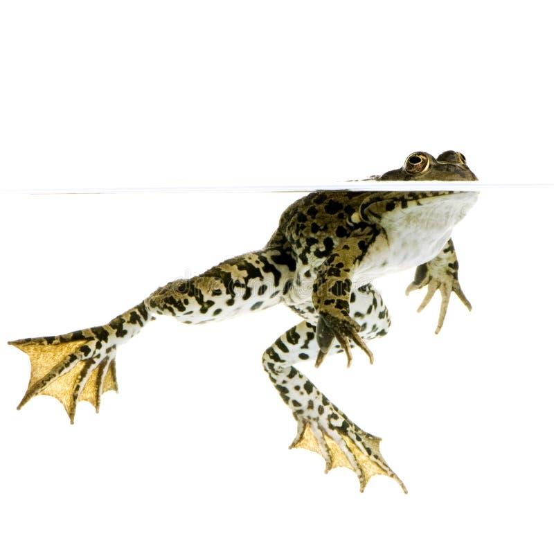 Download Surfacing Frog stock image. Image of swim, animal, diving - 2243139