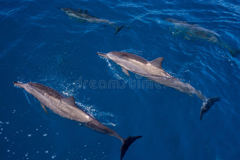 Surfacing and submerged, hawaiin spinner dolphins. A pair of hawaiin spinner dolphins surfacing, another pair submerged, off the napali coast of kauai, hawaii stock image