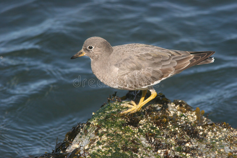 surfbird fotografia stock