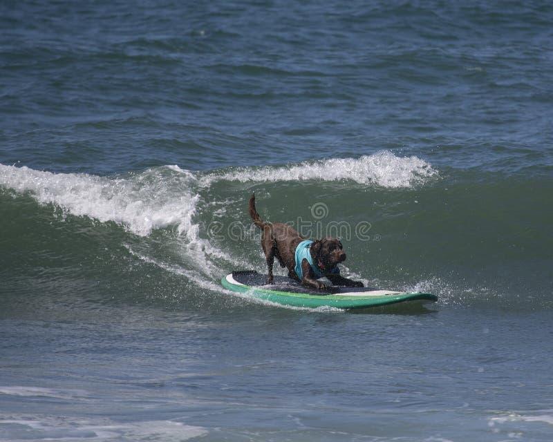 Surfende hond stock fotografie