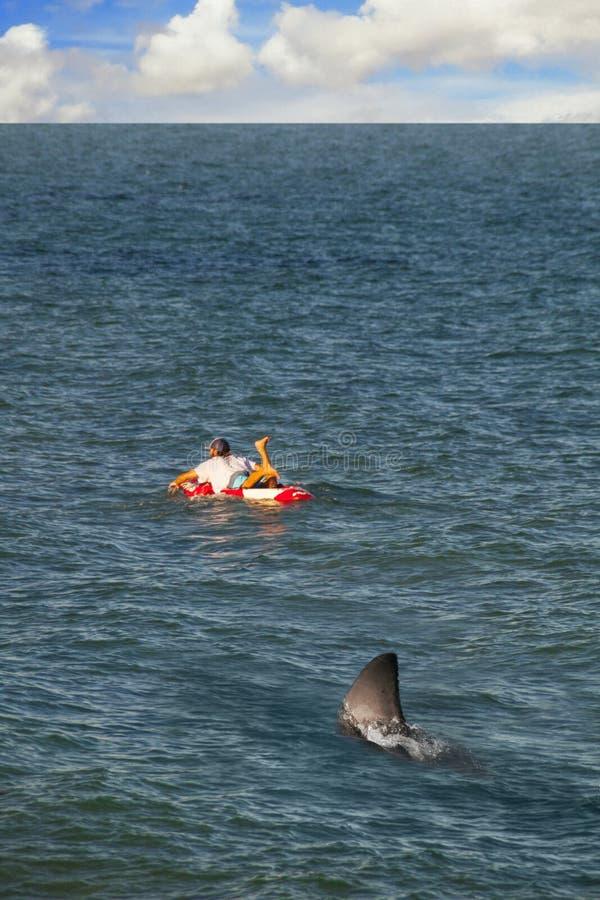 SURFER AUF SURFBRETT-AHNUNGSLOSEM GROSSEM HAIFISCH IST IM WASSER FOLGEND stockbilder