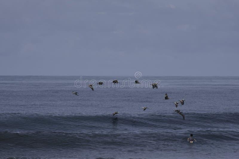 Surfer, der heraus während Pelikane vorbei fliegen schaufelt stockfotografie