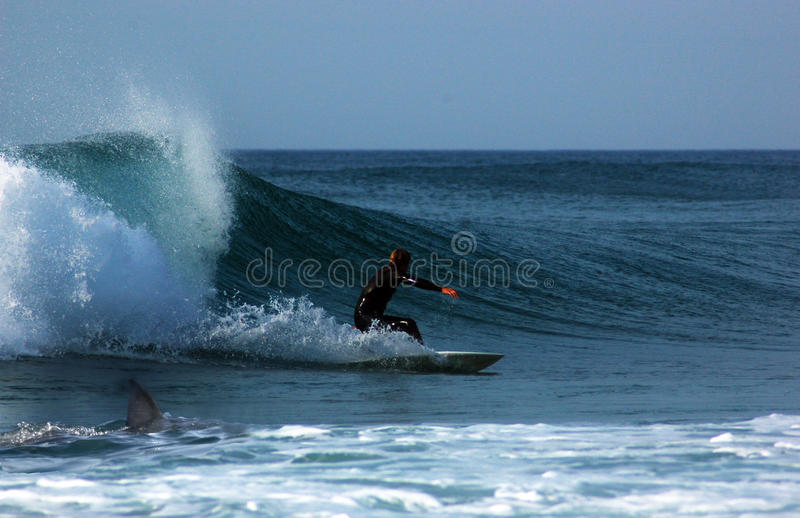 Surfer followed by a shark stock image