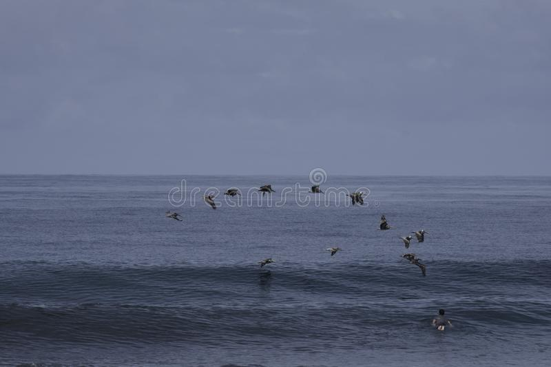 Surfer paddling out while pelicans flying by stock photography