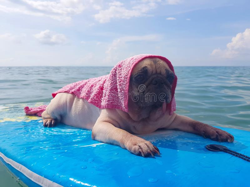 Surfing Dog, Happy Young Pug on Surf Board in the Sea.  royalty free stock photos
