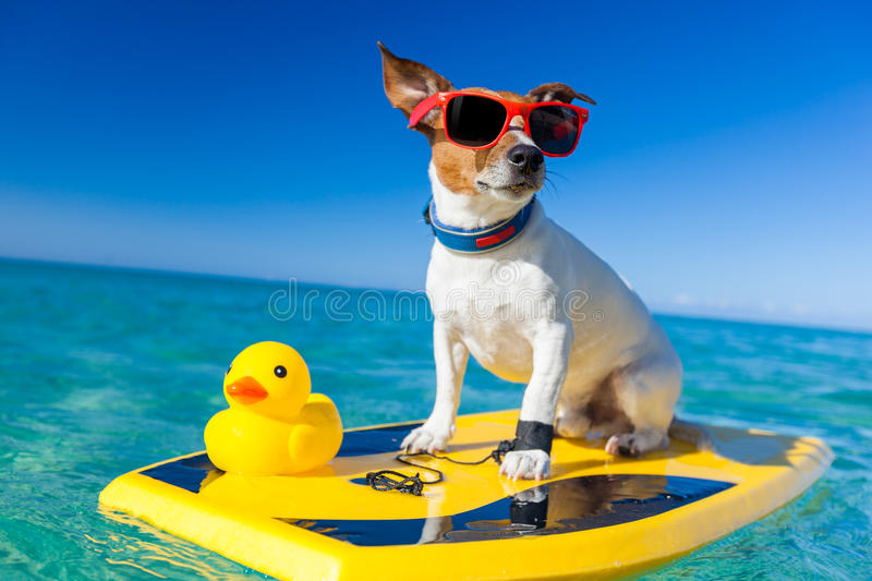 Surfing dog. Dog surfing on a surfboard wearing sunglasses with a yellow plastic rubber duck, at the ocean shore