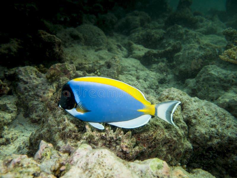 Download Surgeon fish stock photo. Image of aquarium, salt, animal - 27338806