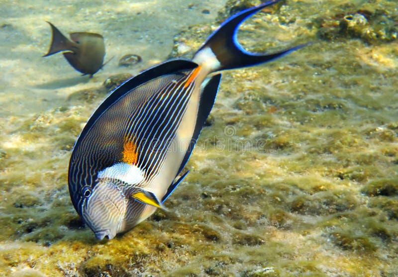 Surgeon-fish de Sohal (Acanthurus sohal) fotografía de archivo libre de regalías