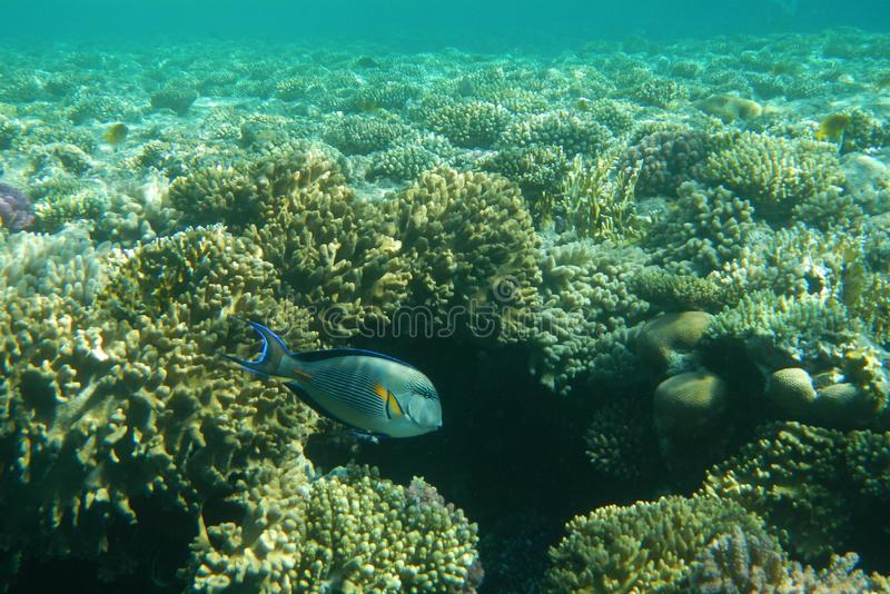 Surgeon fish swims among corals in the Red Sea royalty free stock image