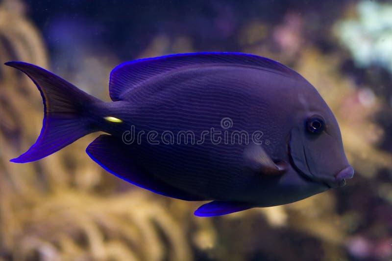 Surgeonfish Royalty Free Stock Photo