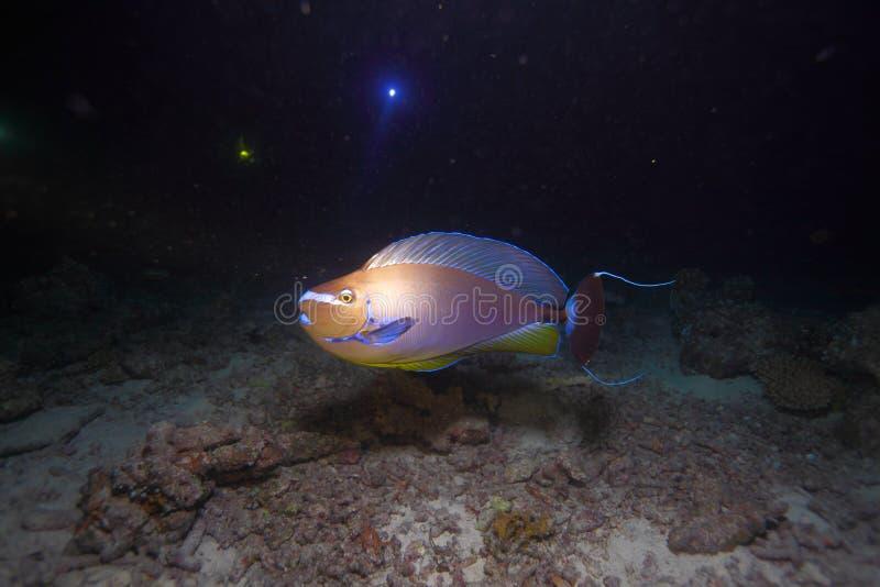 Surgeonfish image libre de droits