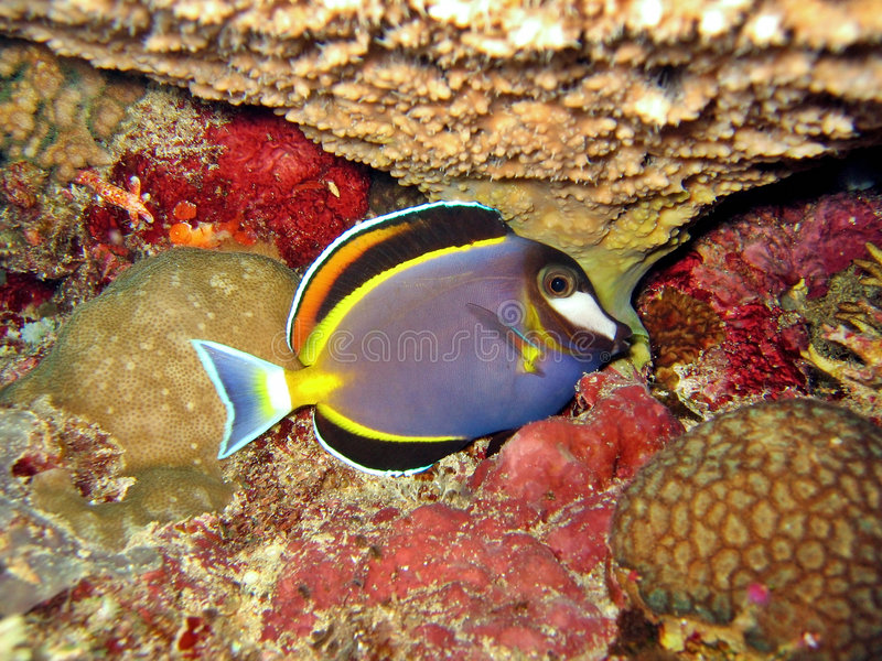 surgeonfish zdjęcia royalty free