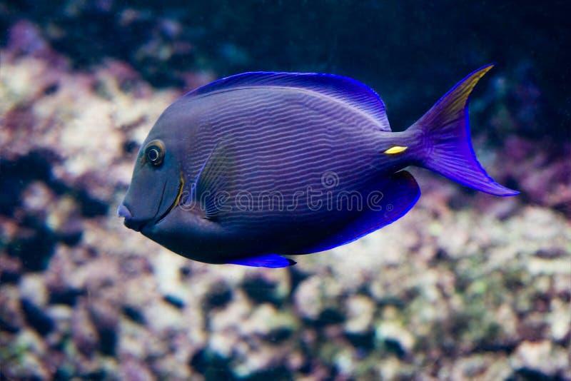 Surgeonfish royalty-vrije stock foto