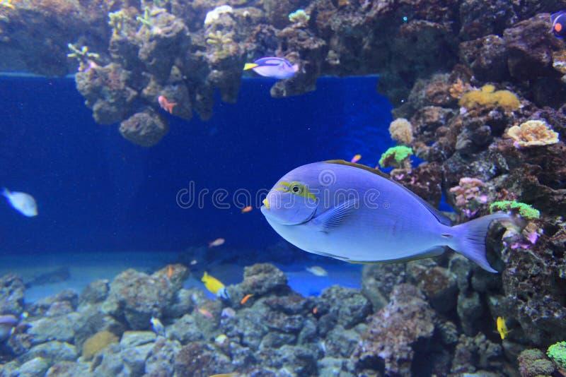 Surgeonfish alargado fotos de archivo libres de regalías