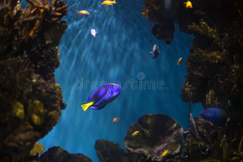 Surgeonfish azul fotografía de archivo libre de regalías