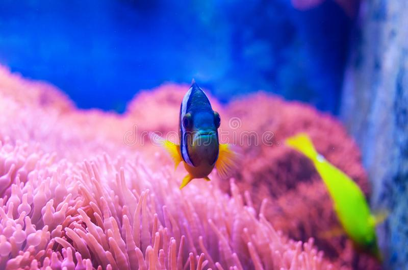 Surgeonfish azul de la espiga foto de archivo