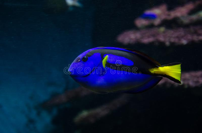 Surgeonfish coral da paleta dos peixes imagens de stock royalty free