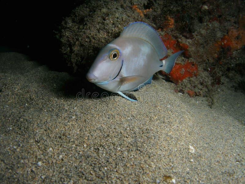 Surgeonfish d'océan photographie stock