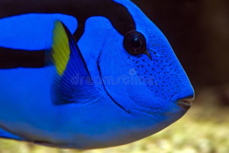 Surgeonfish de la paleta - Tang azul pacífico imágenes de archivo libres de regalías