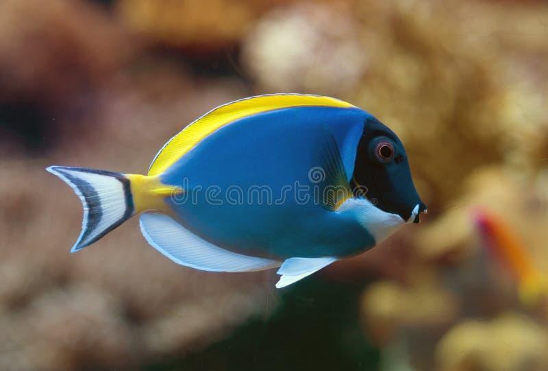 Surgeonfish de los azules claros foto de archivo