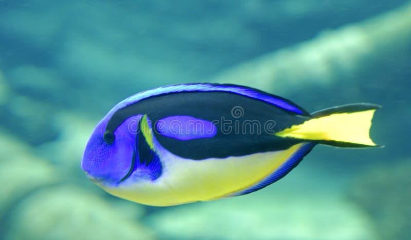 Surgeonfish de palette photographie stock