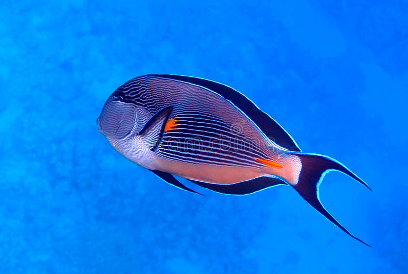 Surgeonfish de Sohal imagens de stock royalty free