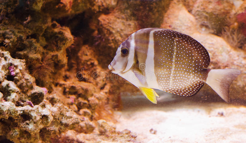 Surgeonfish de Whitespotted photo stock