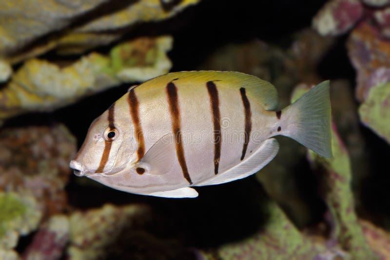 Surgeonfish del Convict fotografia stock libera da diritti