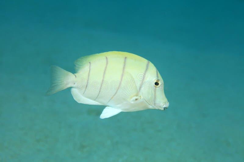 Surgeonfish del convicto imagen de archivo