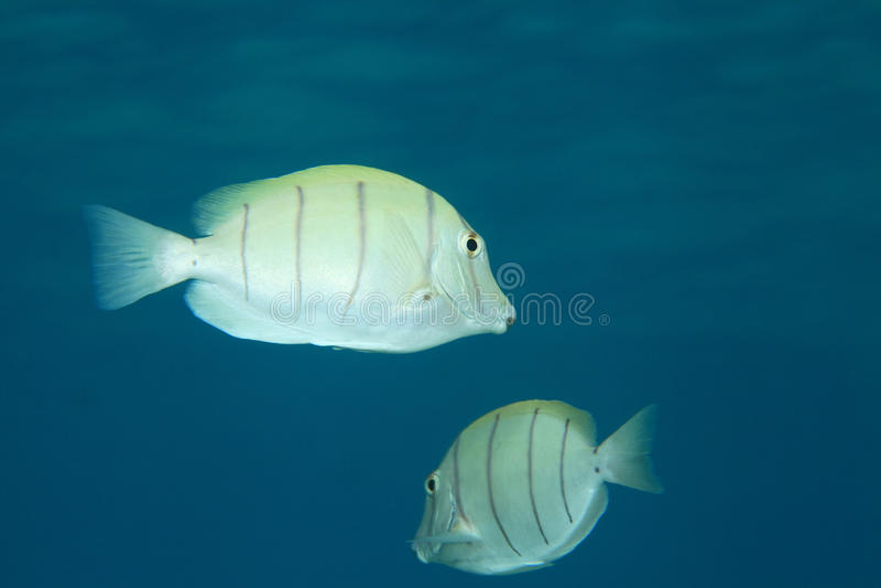 Surgeonfish del convicto fotos de archivo libres de regalías
