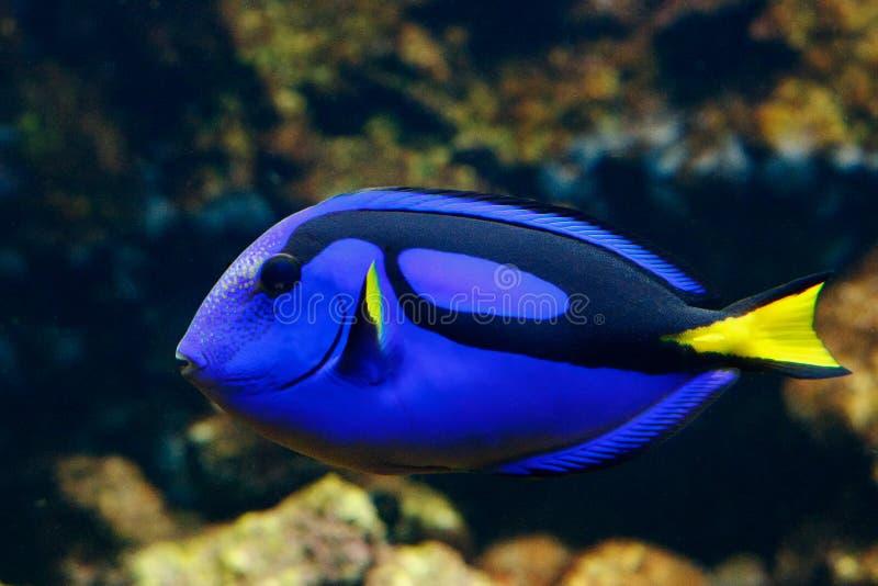 Surgeonfish della tavolozza fotografie stock