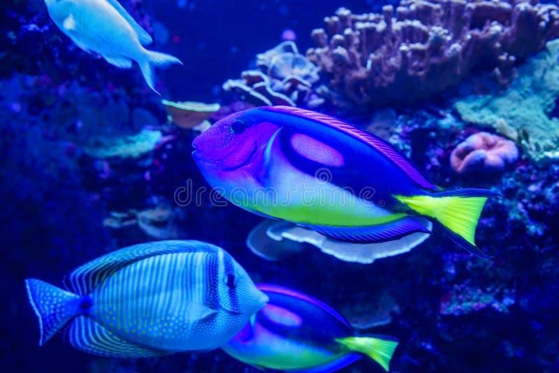 Surgeonfish della tavolozza - paracanthurus hepatus immagini stock libere da diritti