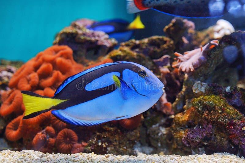 Surgeonfish di corallo della tavolozza del pesce immagini stock libere da diritti