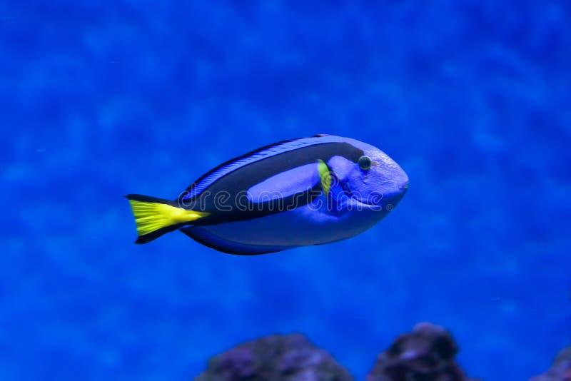 Surgeonfish för palett för Sankt Pers fiskfiskcloseup inom korallrever i det blåa akvariet arkivbilder