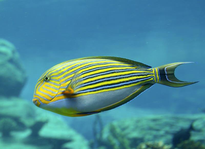 Surgeonfish rayado foto de archivo
