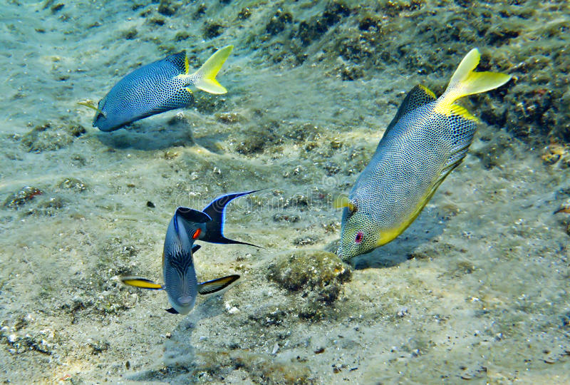 A surgeonfish and rubbitfish on the reef stock images