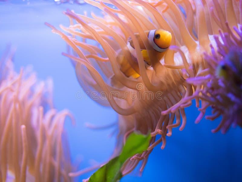 Surgeonfish in scogliera fotografia stock libera da diritti