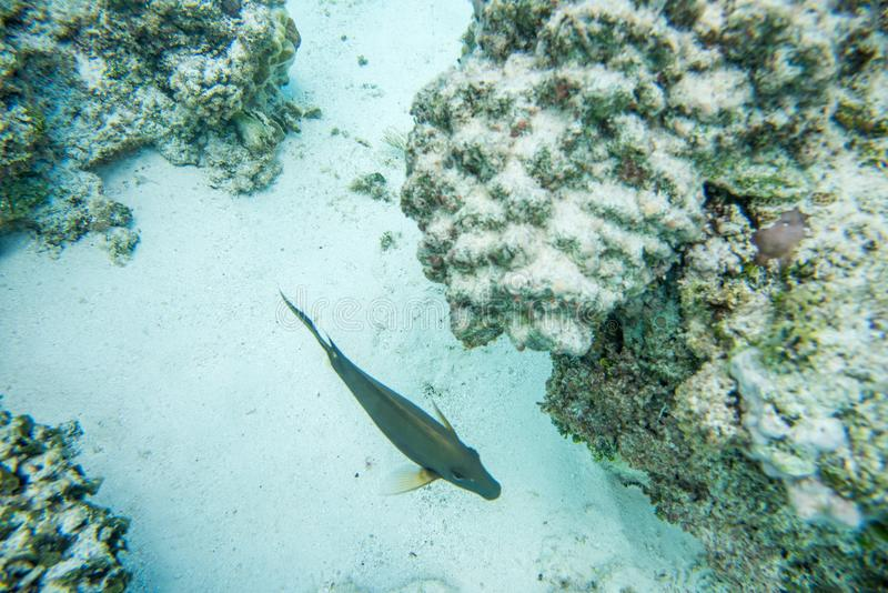 Surgeonfish Swimming in Coral Reef stock photo