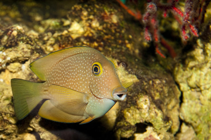 Surgeonfish or Tang in Aquarium royalty free stock photography
