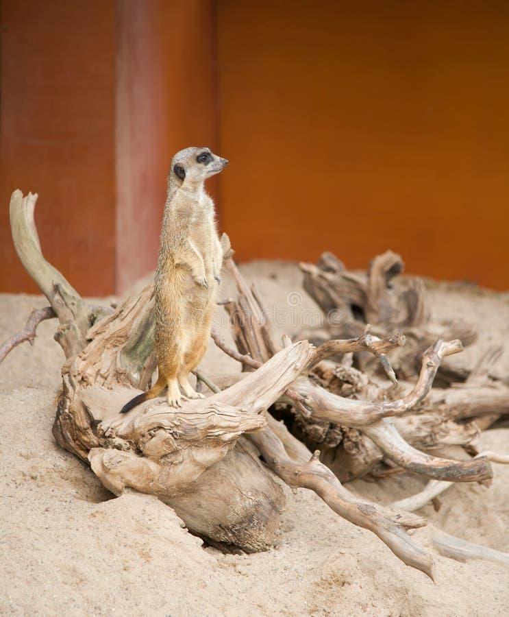 Download Suriсat stock image. Image of mammal, desert, plain, suricat - 15705199