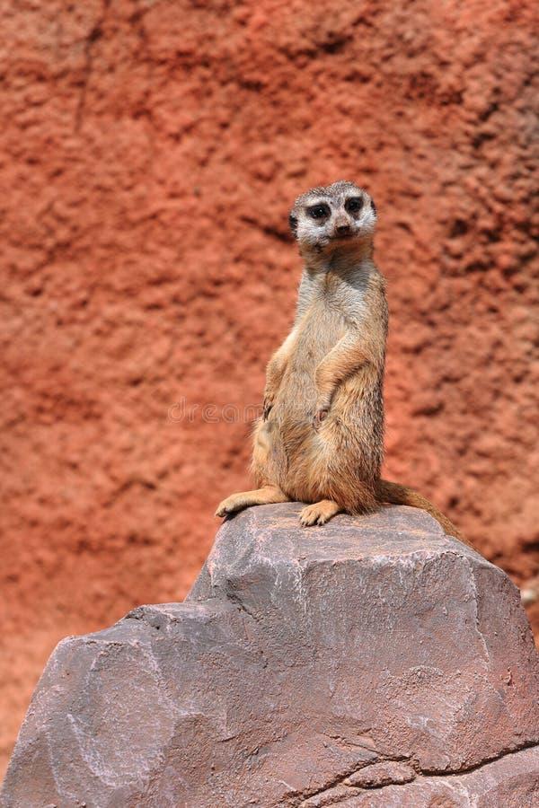 suricata стоковая фотография