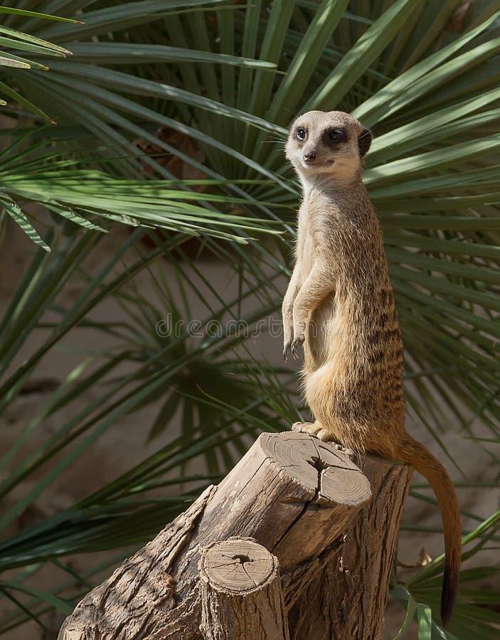 Suricata dans un zoo de Barcelone, Espagne photographie stock libre de droits