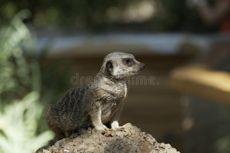 Download Suricata staring stock photo. Image of meerkat, sandy - 24399788